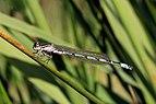Southern damselfly (Coenagrion mercuriale) immature male Parsonage Moor.jpg