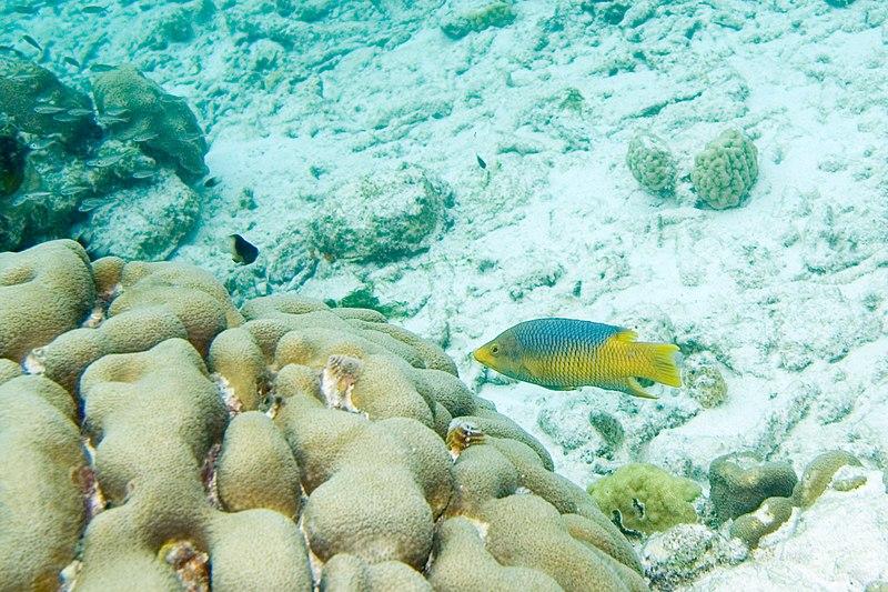 File:Spanish hogfish Bodianus rufus (2414054153).jpg