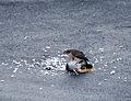 Sparrowhawk and pidgeon.jpg