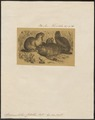 Spermophilus citillus - 1700-1880 - Print - Iconographia Zoologica - Special Collections University of Amsterdam - UBA01 IZ20400129.tif