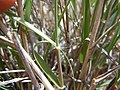 Sporobolus cryptandrus Oryzopsis-Hilaria-Sporobolus steppe (6124776684).jpg