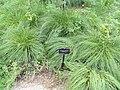Sporobolus heterolepis - Denver Botanic Gardens - DSC00886.JPG