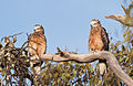 Square-tailed Kite pair 10-1-12 (6678181369).jpg