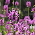 Stachys officinalis-IMG 6763.jpg