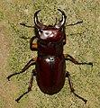 Stag Beetle (48128151062).jpg