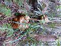 Stagshorn Fern - Flickr - gailhampshire.jpg