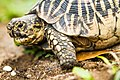 Star Tortoise (Geochelone Elegans) 02.jpg