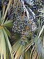 Starr-010330-0588-Livistona chinensis-fruits-Paia-Maui (24532098245).jpg
