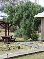 Starr-080208-2568-Tamarix aphylla-habit with picnic table and paths-Honokanaia-Kahoolawe (24275761614).jpg