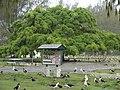 Starr-080607-7364-Ficus benjamina-habit with Laysan albatross in rain-Midway Mall Sand Island-Midway Atoll (24548404919).jpg