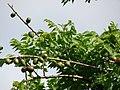 Starr-090608-8996-Spondias purpurea-leaves and fruit-Waikapu-Maui (24936313546).jpg