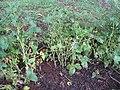 Starr-090611-0626-Glycine max-plants in garden-Olinda-Maui (24846154482).jpg