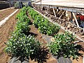Starr-091020-8374-Solanum muricatum-habit-Kula Experiment Station-Maui (24868468492).jpg