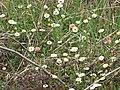 Starr-100401-4290-Erigeron karvinskianus-flowers-Polipoli-Maui (24396827294).jpg