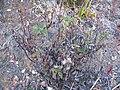 Starr-100714-3319-Bidens pilosa-habit-West Rim below Kalahaku Haleakala National Park-Maui (24748112440).jpg