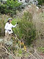 Starr-110331-4606-Erica lusitanica-habit with Kim-Shibuya Farm Kula-Maui (24455116953).jpg