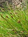 Starr-120504-5522-Eleocharis obtusa-seedheads-Maui Nui Botanical Garden-Maui (24515341753).jpg