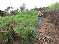 Starr-120620-9722-Cenchrus purpureus-bana grass biofuel trials with Forest-Kula Agriculture Station-Maui (24817220279).jpg