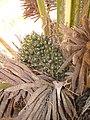 Starr-120702-7947-Elaeis guineensis-green fruit-USDA Plant Materials Center-Molokai (24555665244).jpg