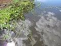 Starr-121029-0419-Ipomoea aquatica-habit in wetland-Ukumehame-Maui (24899138100).jpg