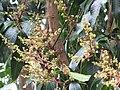 Starr-130312-2215-Mangifera indica-Keitt flowers-Pali o Waipio Huelo-Maui (24911320280).jpg