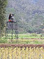 Starr-130321-3558-Syzygium cumini-habit with Julie in blind scoping wetland birds-Hanalei NWR-Kauai (24582536893).jpg
