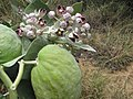 Starr-130422-4173-Calotropis procera-flowers and fruit-Kahului-Maui (24914706080).jpg