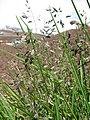 Starr-130514-2108-Poa pratensis-seedheads-Science City-Maui (25092578932).jpg