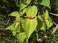 Starr-140909-1667-Clidemia hirta-leaves-Wailua-Maui (25219409616).jpg