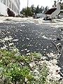 Starr-150325-0392-Poa annua-habit lead abatement and Laysan Albatrosses-Charlie Barracks Sand Island-Midway Atoll (25147325002).jpg
