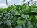 Starr-170615-0216-Brassica oleracea-leaves-Hydroponics Town Sand Island-Midway Atoll (35551881103).jpg