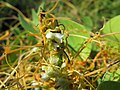 Starr-170919-0228-Cuscuta campestris-flowers-Wailea Point Coastal Walk-Maui - Flickr - Starr Environmental.jpg