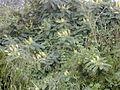 Starr 011205-0118 Caesalpinia decapetala.jpg