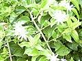 Starr 030602-0068 Jasminum multiflorum.jpg