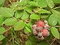 Starr 050815-3501 Rubus niveus f. a.jpg