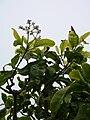 Starr 060225-6128 Pisonia brunoniana.jpg