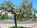 Starr 060922-9113 Erythrina crista-galli.jpg
