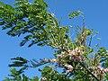 Starr 070111-3200 Gliricidia sepium.jpg