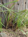 Starr 070123-3723 Cyperus rotundus.jpg