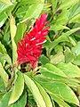 Starr 070302-4929 Alpinia purpurata.jpg