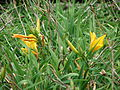 Starr 070308-5356 Hemerocallis sp..jpg