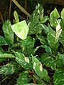 Starr 071024-9766 Spathiphyllum sp..jpg
