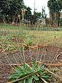Starr 080327-3888 Plantago lanceolata.jpg