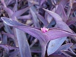 Trapoeraba-roxa cultivada em jardim