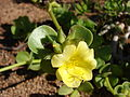 Starr 090121-0927 Portulaca molokiniensis.jpg