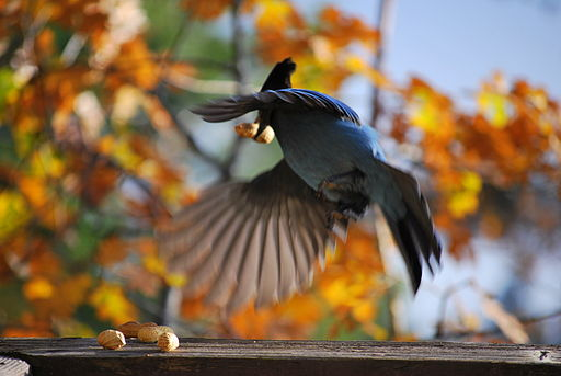 Steller's Jay taking flight from wood rail holding a peanut in its beak
