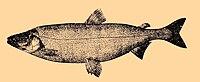 Stenodus leucichthys.jpg
