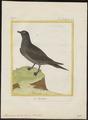 Stercorarius cephus - 1700-1880 - Print - Iconographia Zoologica - Special Collections University of Amsterdam - UBA01 IZ17900182.tif