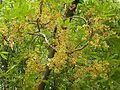 Sterculia murex, blomme, Manie van der Schijff BT, c.jpg