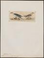 Sterna aranea - 1820-1860 - Print - Iconographia Zoologica - Special Collections University of Amsterdam - UBA01 IZ17900330.tif